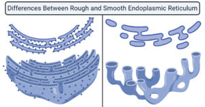 Differences Between Rough and Smooth Endoplasmic Reticulum