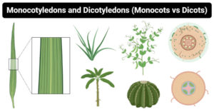 Differences between Monocotyledons and Dicotyledons