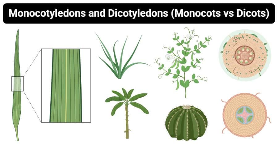 Differences between Monocotyledons and Dicotyledons