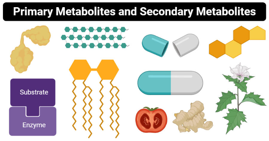 Differences between Primary Metabolites & Secondary Metabolites