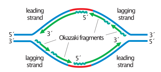 Okazaki fragments