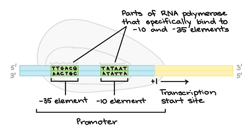 Promoter and initiation in prokaryotes