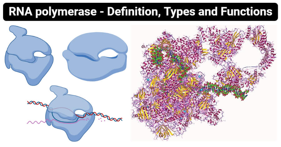 RNA polymerase - Definition, Types and Functions