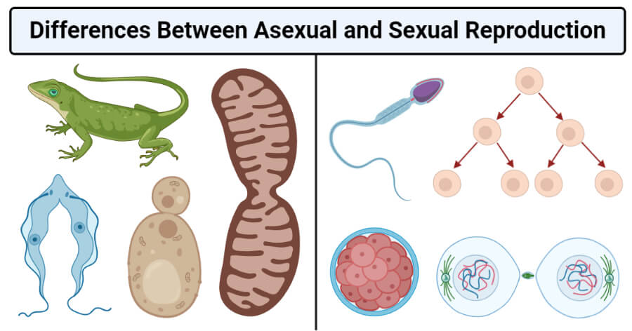 Differences Between Asexual and Sexual Reproduction