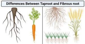Differences Between Taproot and Fibrous root (Taproot vs Fibrous root)