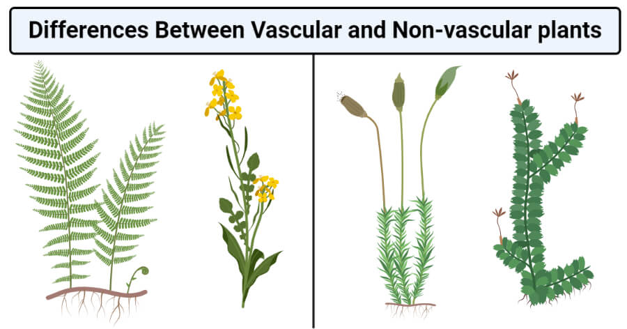 Differences Between Vascular and Non-vascular plants
