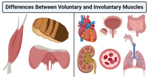 Differences Between Voluntary and Involuntary Muscles