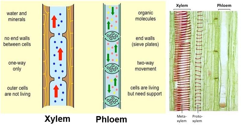 Differences Between Xylem and Phloem (Xylem vs Phloem)
