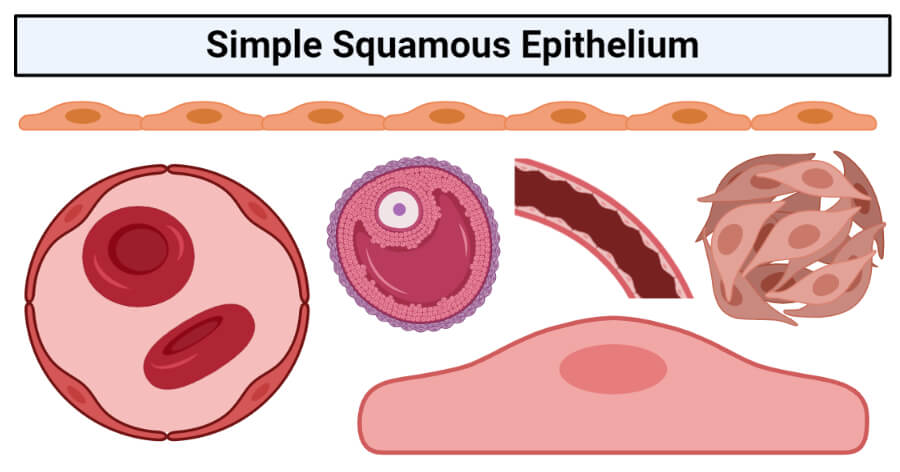 Simple squamous epithelium- structure, functions, examples