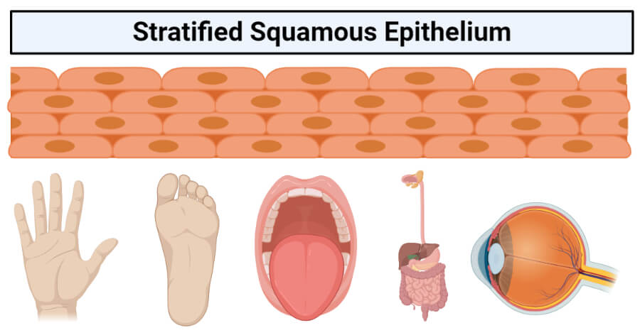 Stratified squamous epithelium