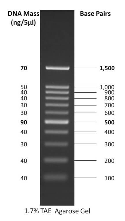 100 bp DNA ladder