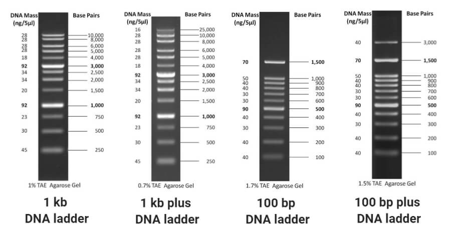 DNA Ladders