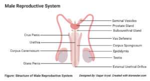 Organs of the Male Reproductive System