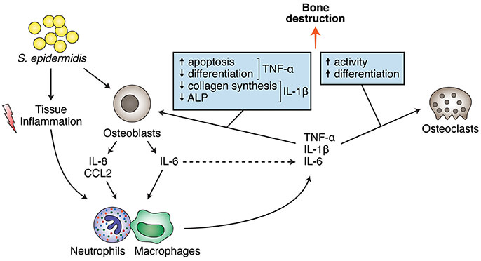Staphylococcus epidermidis effects on bone cells