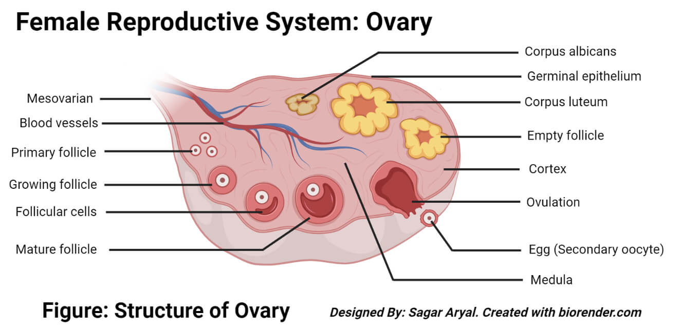 Structure of a Ovary