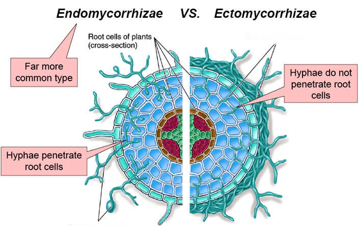 Differences between Ectomycorrhiza and Endomycorrhiza