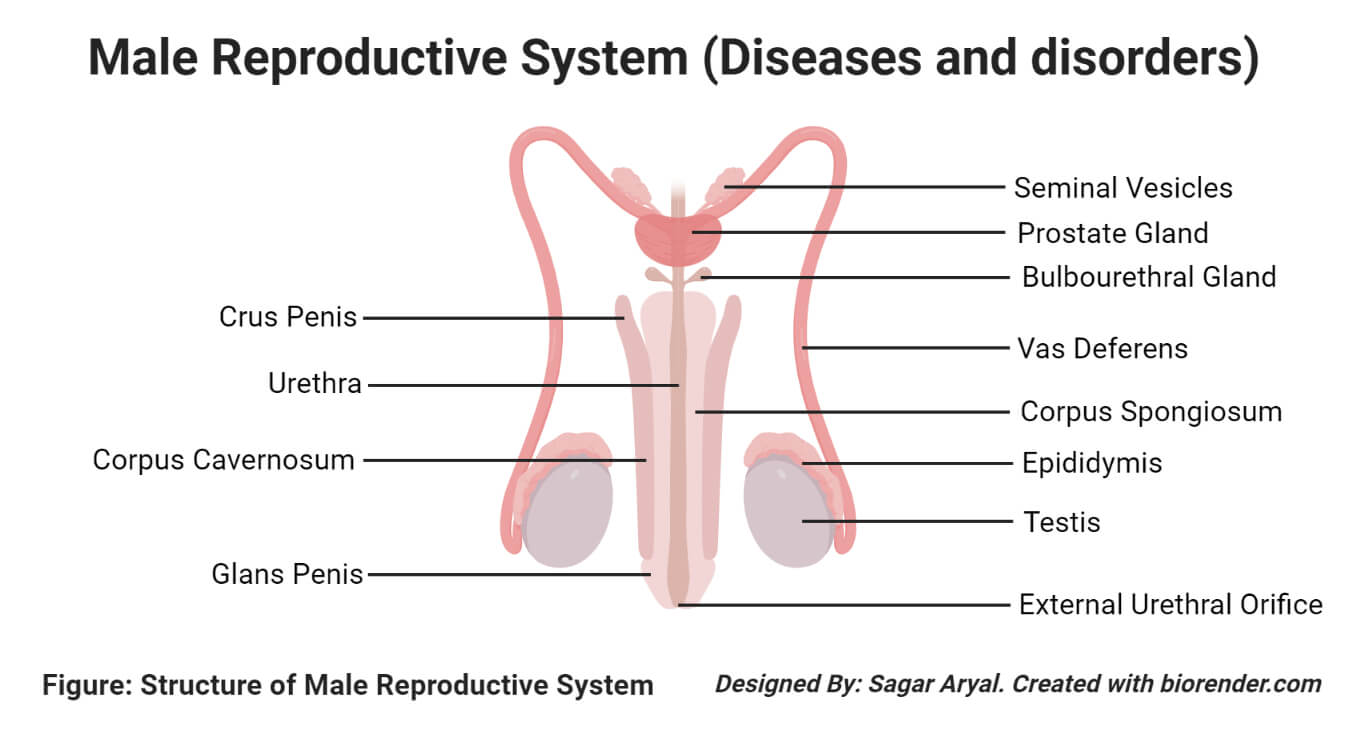 Diseases and disorders of the male reproductive system