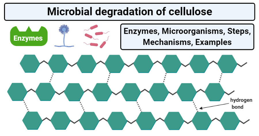 Microbial degradation of cellulose (Enzymes, Steps, Mechanisms)