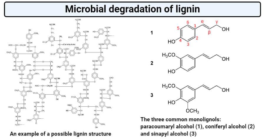 Microbial degradation oflignin