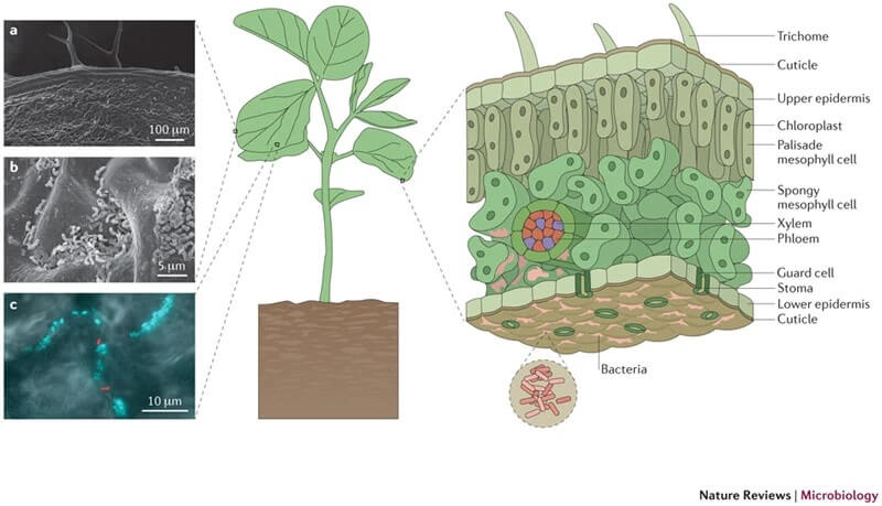 Phyllosphere microbiome of Leaves (phylloplane)
