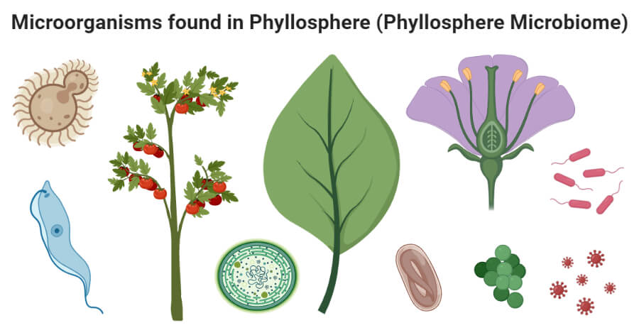 Phyllosphere microorganisms- Examples, Factors, Effects