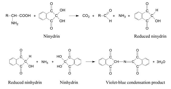 Principle of Ninhydrin Test