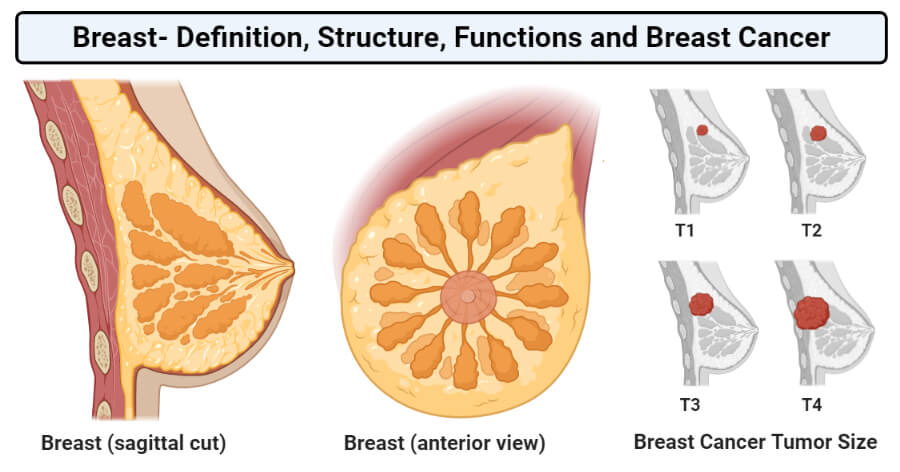 Structure of Breast