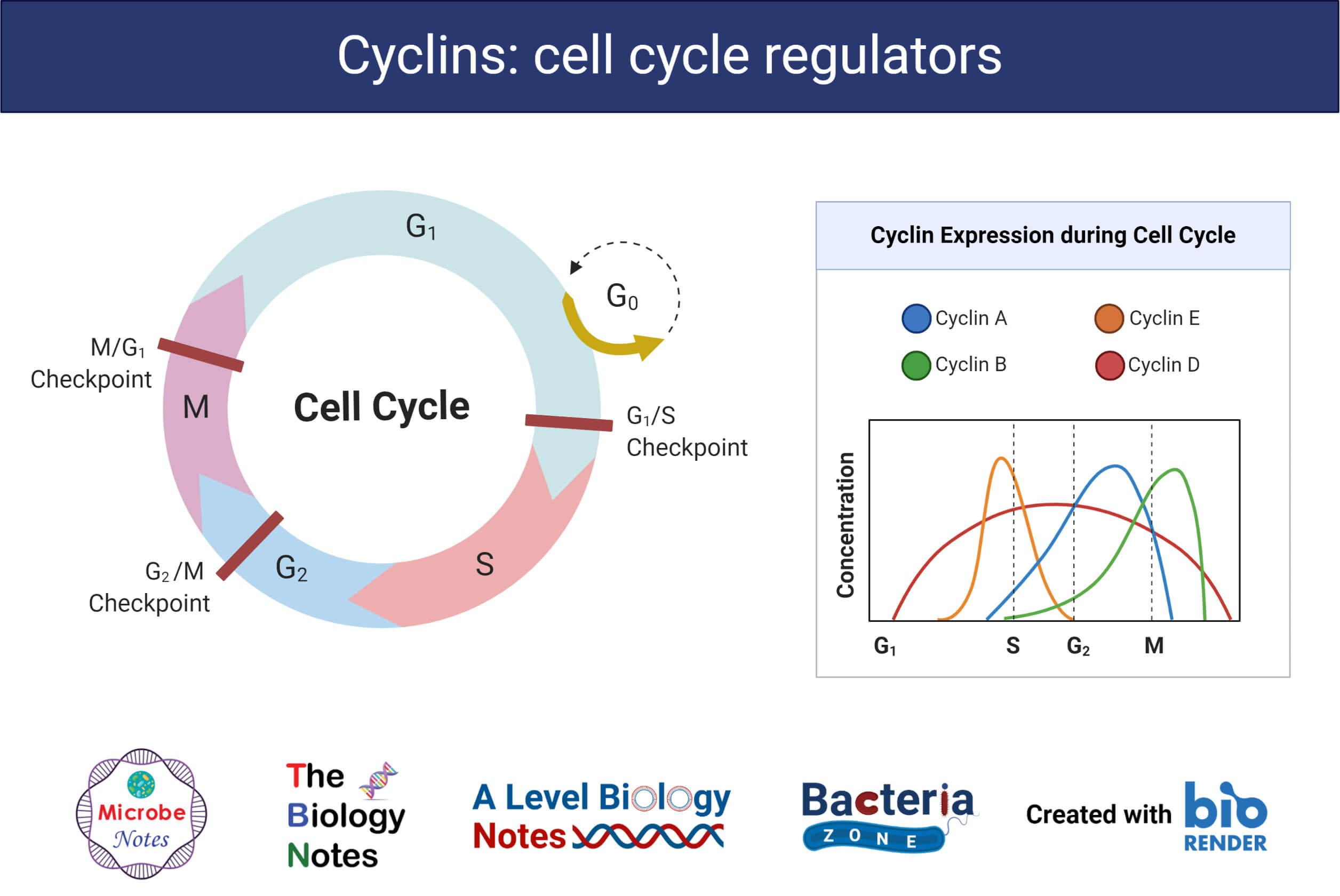 Cyclins- Cell Cycle Regulators