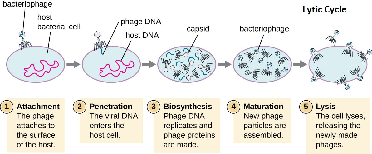 Lytic Cycle of Bacteriophage