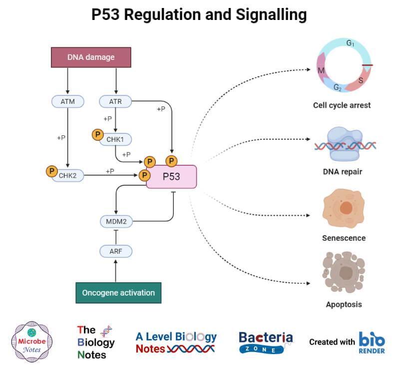 P53 Regulation and Signalling