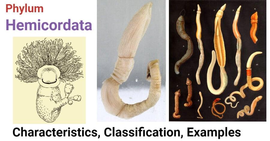 Phylum Hemicordata