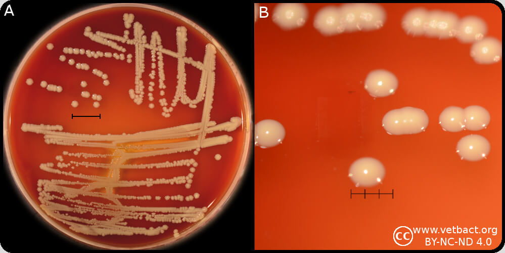 Staphylococcus hominis on Blood Agar