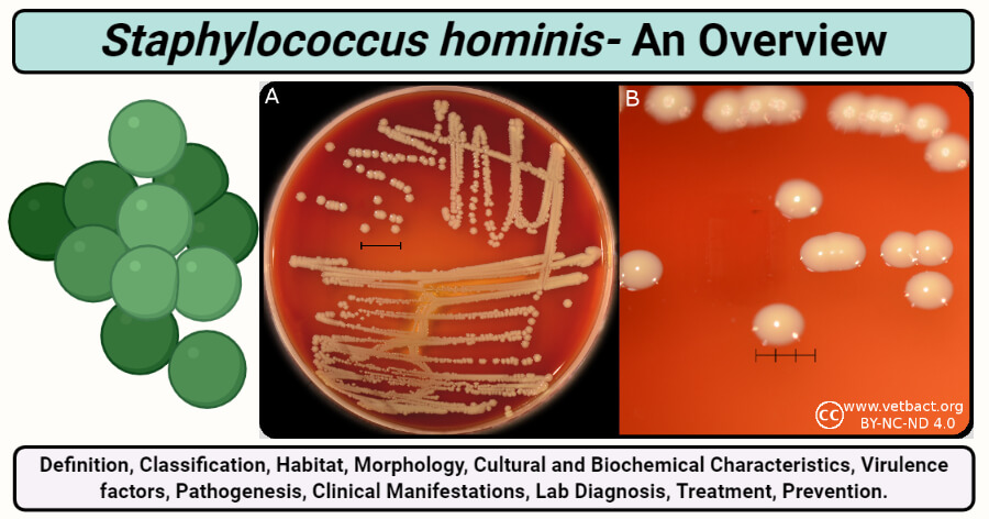 Staphylococcus hominis