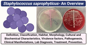 Staphylococcus saprophyticus