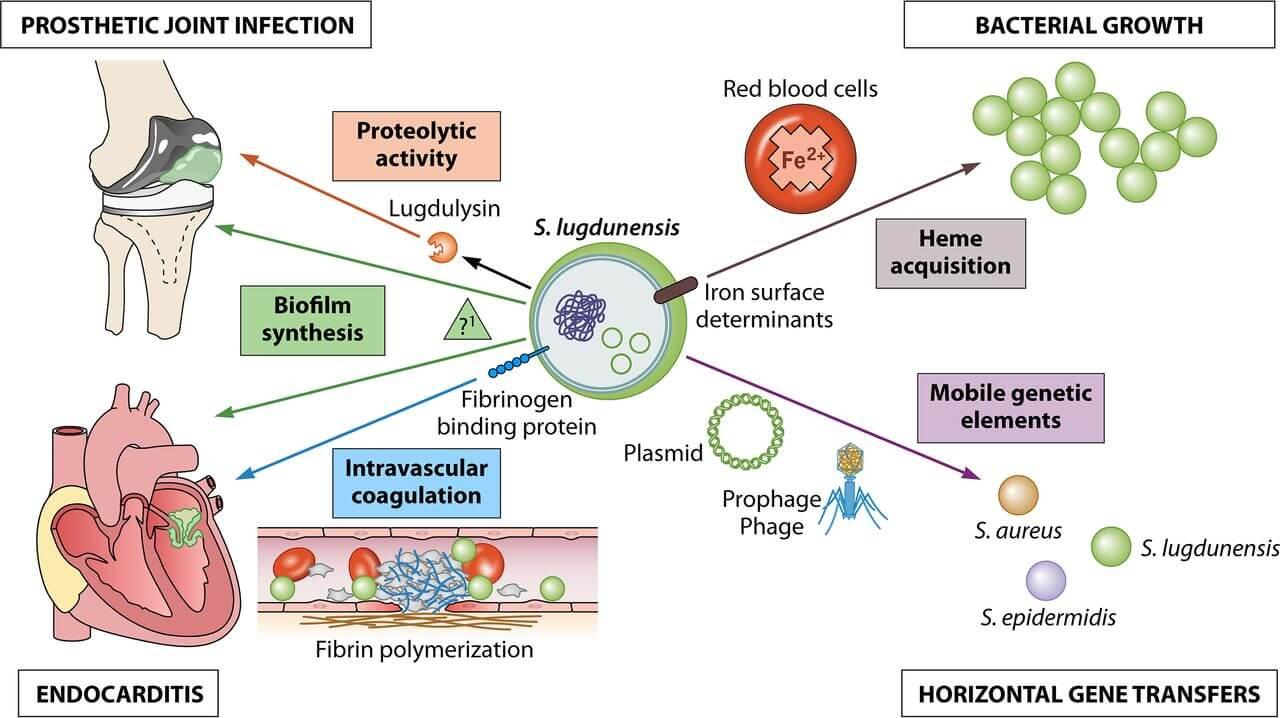 Virulence Factors of Staphylococcus lugdunensis