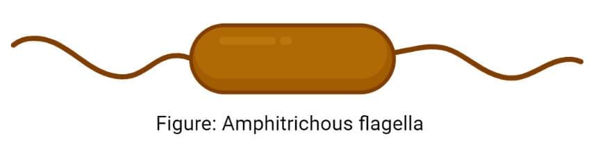 Amphitrichous flagella