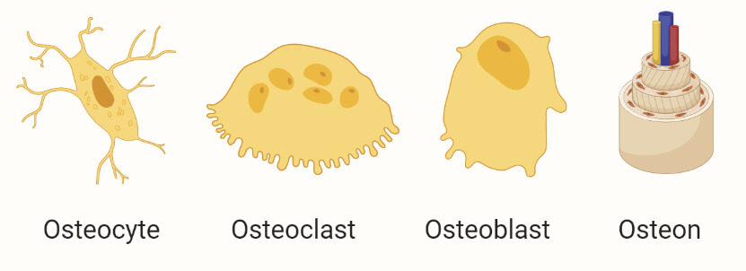 Bone connective tissues - osteocytes