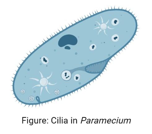 Cilia in Paramecium