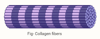 Collagen fibers
