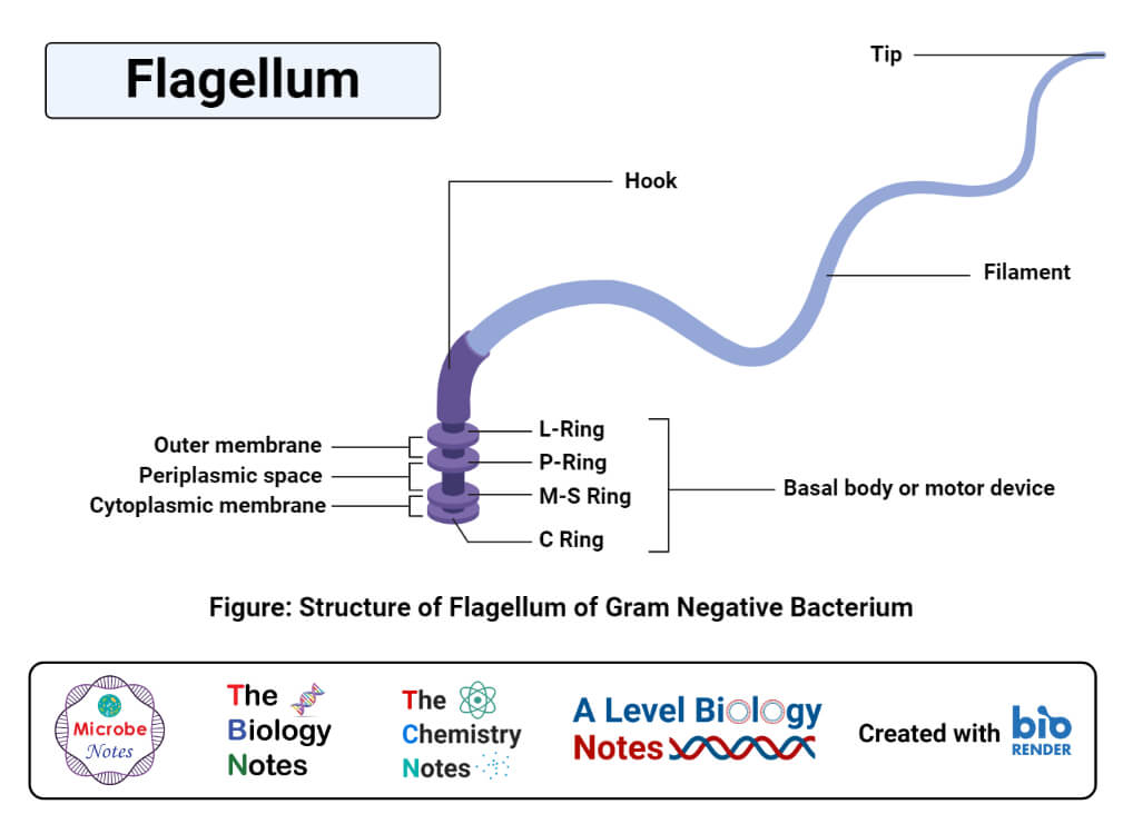 Flagellum Structure