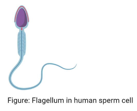 Flagellum in human sperm cell