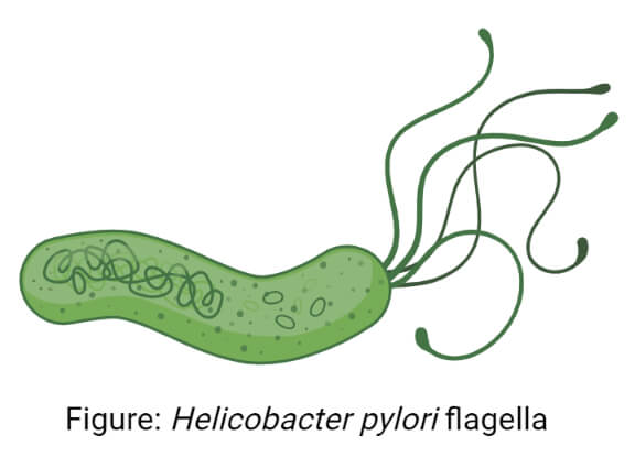Helicobacter pylori flagella