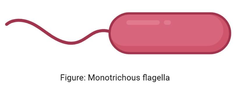 Monotrichous flagella