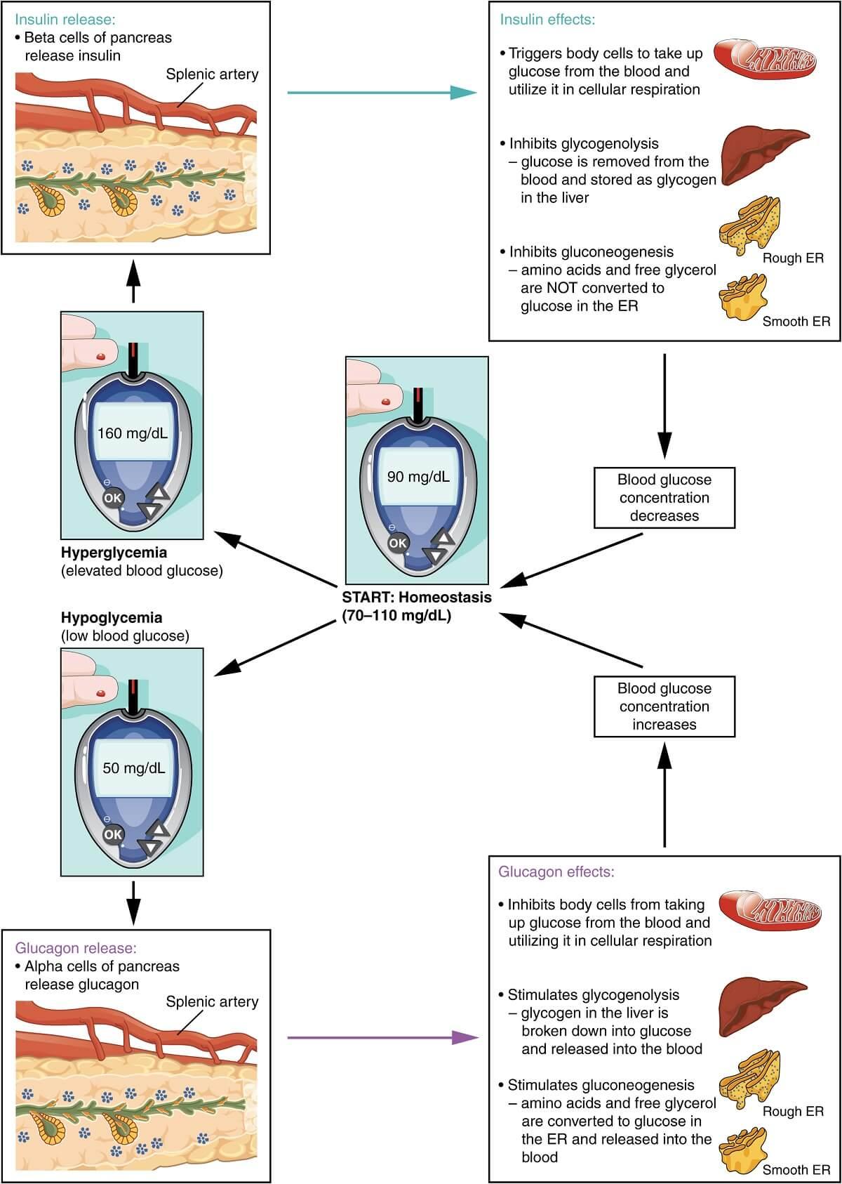 Regulation of blood glucose level- Negative Feedback Mechanism