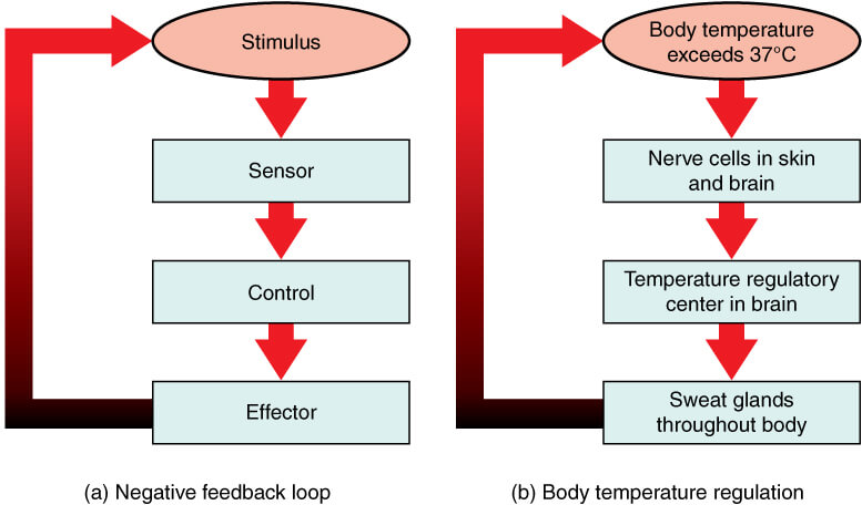 Temperature regulation- Negative Feedback Mechanism