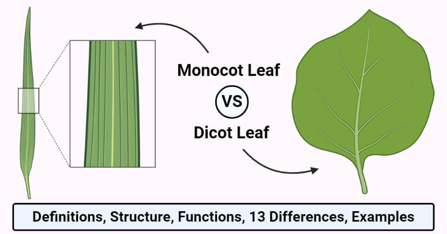 Monocot and Dicot Leaves