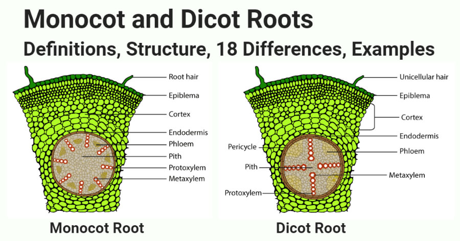 Monocot and Dicot Roots