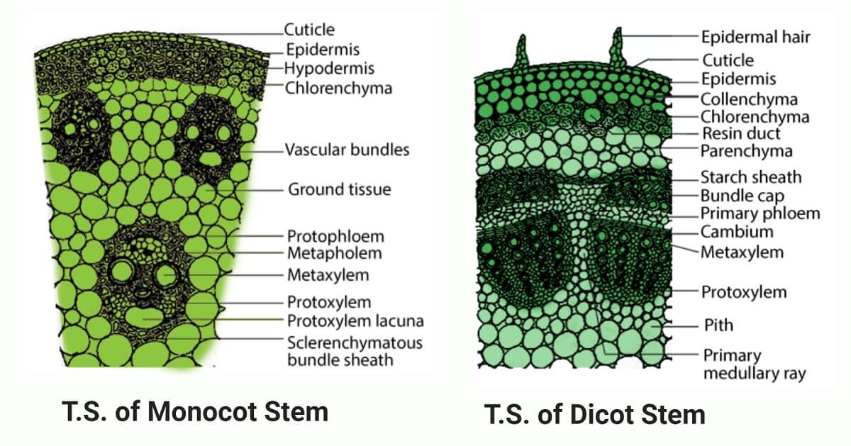 Monocot and Dicot Stem