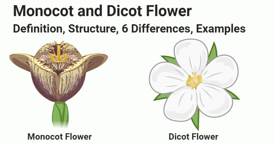 Monocot vs Dicot Flower