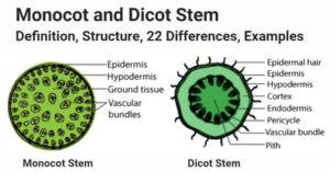 Monocot vs Dicot Stem
